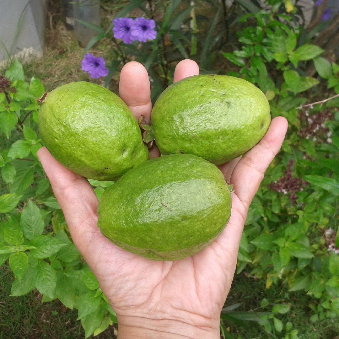 #Guavas My endless supply of #VitaminC! Picked 5 this morning plus 2 mulberries from…