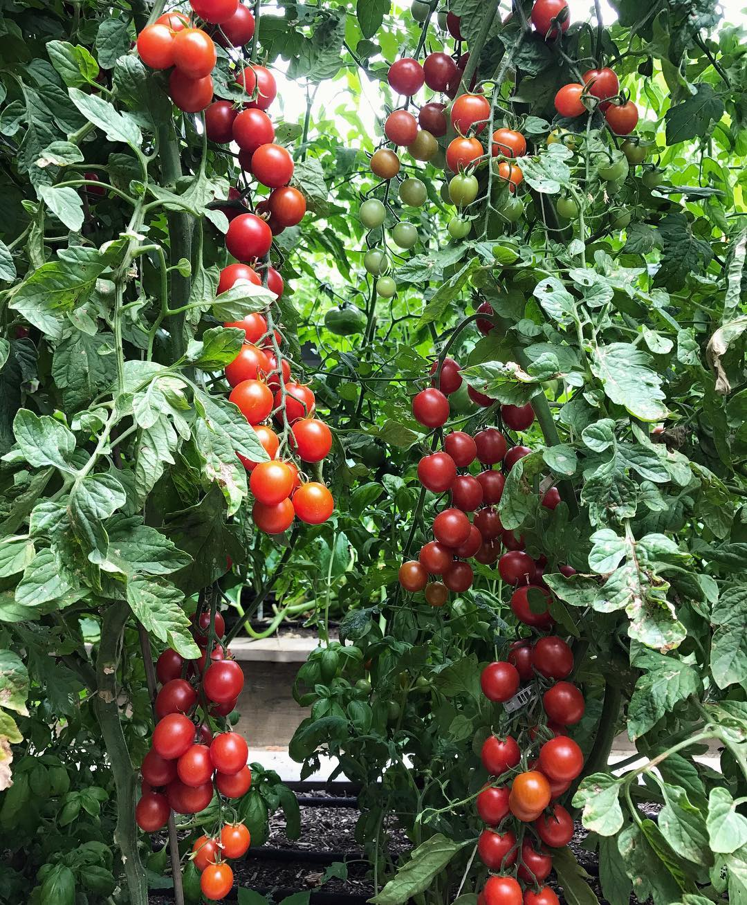 This highly productive cluster tomato is called Favorita and after growing it for the…
