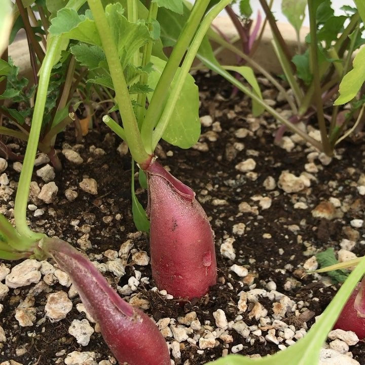 Harvesting the latest round of radishes! What's not to love – only a few…