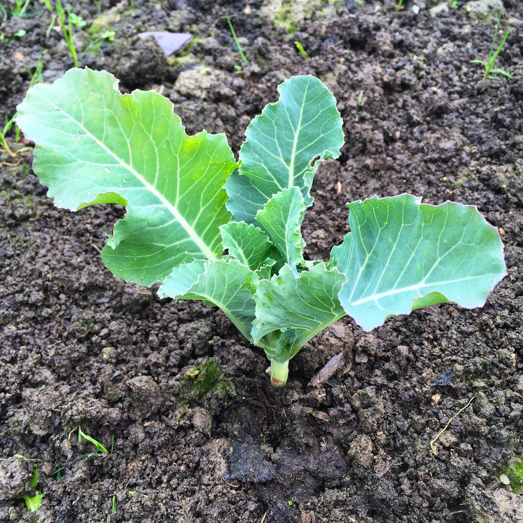 "The ""All Year Round"" cauliflower seedlings are looking healthy! I always struggle with overwinter…"