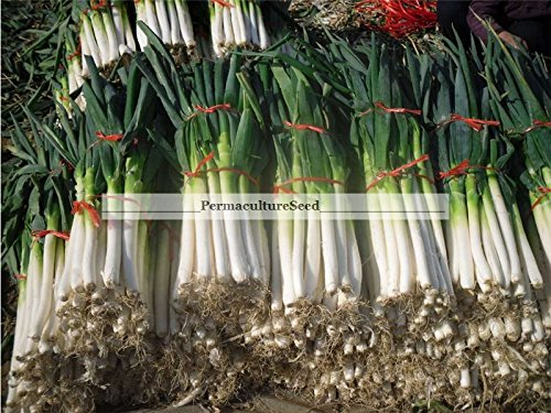 Perennial Green Onion Scallion Seeds Chinese Japanese Welch Bunching Permaculture-80 seeds in foil seed pack