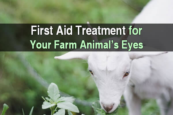 First Aid Treatment For Your Farm Animal's Eyes